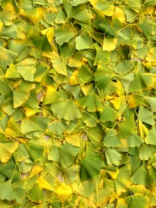 Ginkgo leaves line the Autumn streets